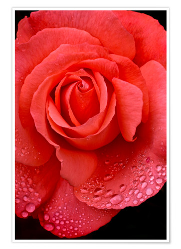 Premium poster Rose with water drops