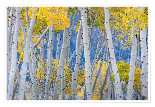 Premium poster Birch groves in the autumn