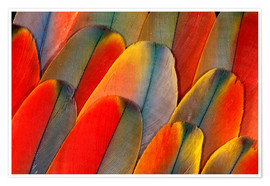 Premium poster  Plumage of a macaw - Darrell Gulin