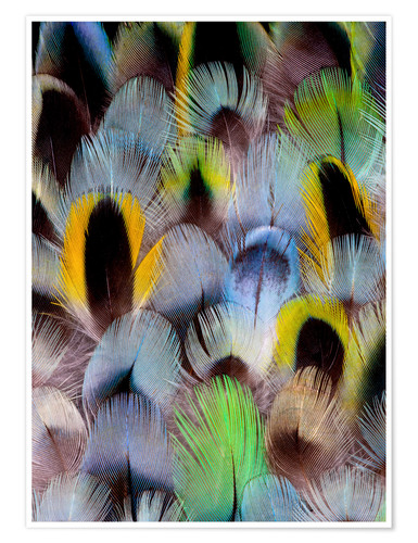 Premium poster Feathers of a Rosella Parakeet