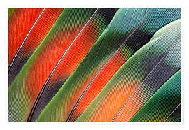 Premium poster  Fanned Agapornids feathers - Darrell Gulin