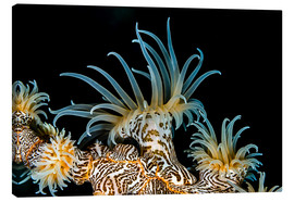 Canvas  Beautiful tiger anemone - Bruce Shafer