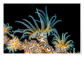 Premium poster Beautiful tiger anemone