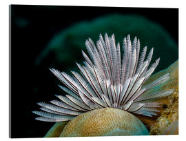 Acrylic glass  Common feather worm - Bruce Shafer