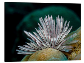 Aluminium print  Common feather worm - Bruce Shafer