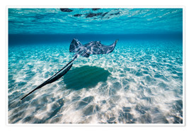 Premium poster Southern stingrays on the sandbar in Grand Cayman, Cayman Islands.