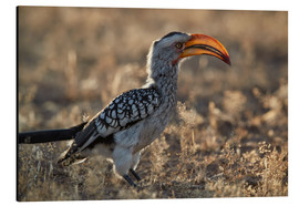 Aluminium print  Southern yellow-billed hornbill - James Hager