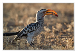 Premium poster Southern yellow-billed hornbill