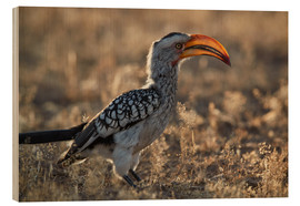 Wood print  Southern yellow-billed hornbill - James Hager