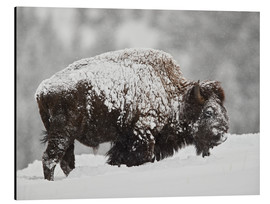 Alu-Dibond  Bison bull covered with snow - James Hager