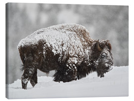 Canvas print  Bison bull covered with snow - James Hager