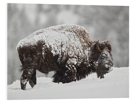 Foam board print  Bison bull covered with snow - James Hager