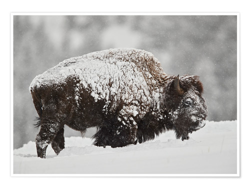 Premium poster Bison bull covered with snow