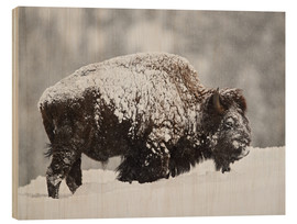 Wood print  Bison bull covered with snow - James Hager