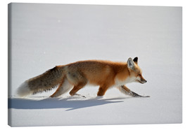 Canvas print  Red fox, stalking through the snow - James Hager