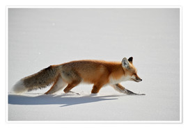 Poster  Red fox, stalking through the snow - James Hager