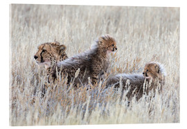 Acrylic print  Cheetah with cubs
