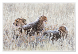 Poster  Cheetah with cubs