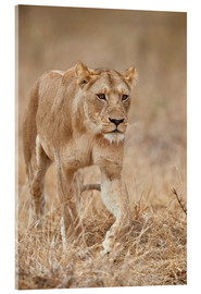 Acrylic print  Lioness in Tanzania - James Hager