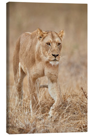 Canvas print  Lioness in Tanzania - James Hager