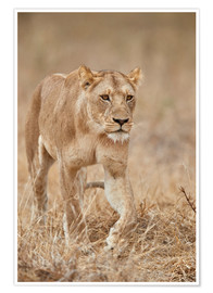 Poster  Lioness in Tanzania - James Hager