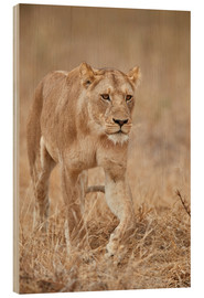 Wood print  Lioness in Tanzania - James Hager
