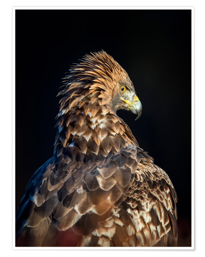 Poster Golden eagle (Aquila chrysaetos)