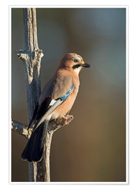 Poster Eurasian jay on a small branch