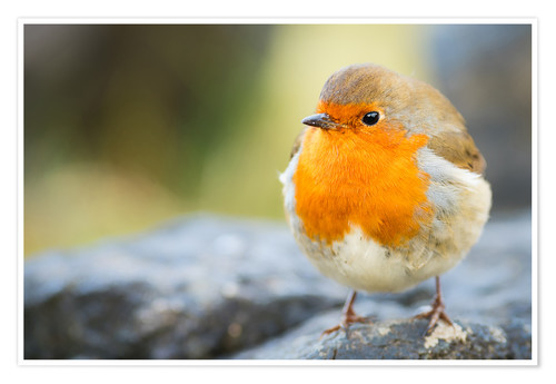 Premium poster Robin, garden bird, Scotland, United Kingdom, Europe