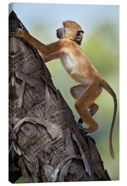 Canvas print  Yellow baboon while climbing, Tanzania - James Hager