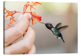 Canvas  Hummingbird on a flower - Michael Nolan