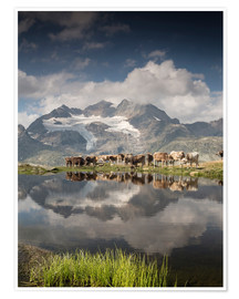 Poster Cows graze on alpine lake