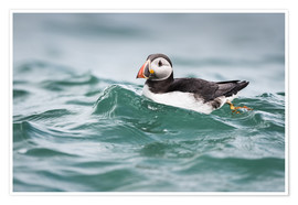 Premium poster  Puffin riding a small wave - Matthew Cattell