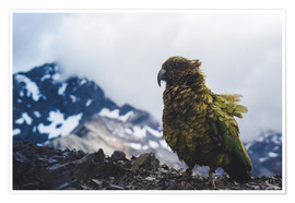 Premium poster Kea at Avalanche Peak, New Zealand