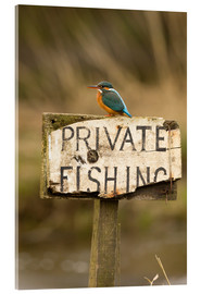 Acrylic print  Kingfisher rests on a fishing sign - John Potter