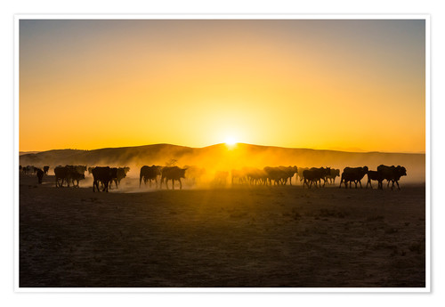 Premium poster Backlight of cattle on the way home at sunset