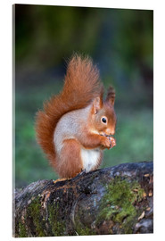 Acrylic print  Red squirrel (Sciurus vulgaris)