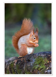 Premium poster Red squirrel (Sciurus vulgaris)