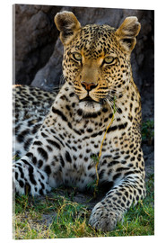 Acrylic print  Leopard resting in the shade - Sergio Pitamitz