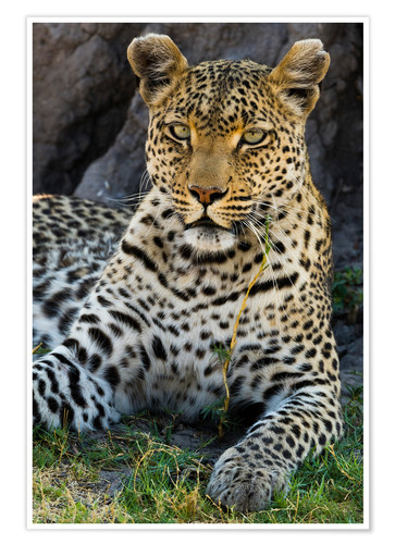 Premium poster Leopard resting in the shade