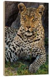 Wood print  Leopard resting in the shade - Sergio Pitamitz