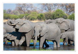 Premium poster African elephants in a herd