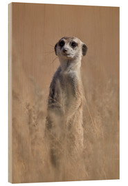 Wood print  Curious meerkat - James Hager