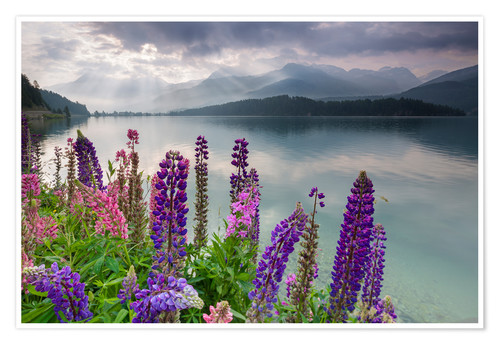 Premium poster Multi colored lupins frame the calm water of Lake Sils