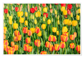 Premium poster Blooming tulip field in the Niederladen