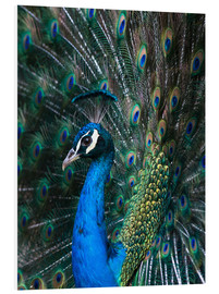 Forex  Indian Peacock - Andrew Michael