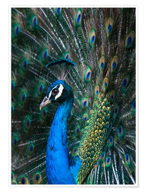 Poster Indian Peacock