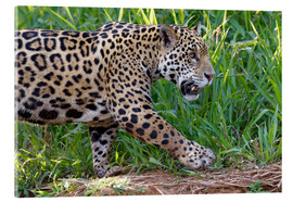 Acrylic print  Young Jaguar at a riverside - G & M Therin-Weise