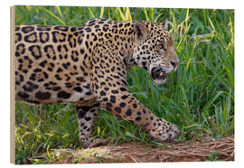 Wood print  Young Jaguar at a riverside - G & M Therin-Weise