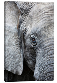 Canvas print  Eye of the African elephant - Ashley Morgan